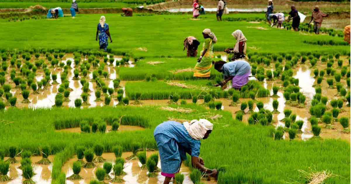Nigeria To Attain Self-Sufficiency In Rice Production By 2018