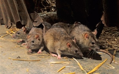 Lassa Fever Kills 8 In Kano