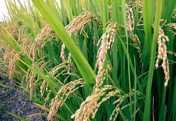 Bumper Harvest Reduces Cost Of Local Rice In Jalingo