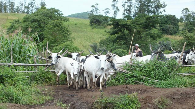 Yoruba Group Cries Out Over Herdsmen Attack