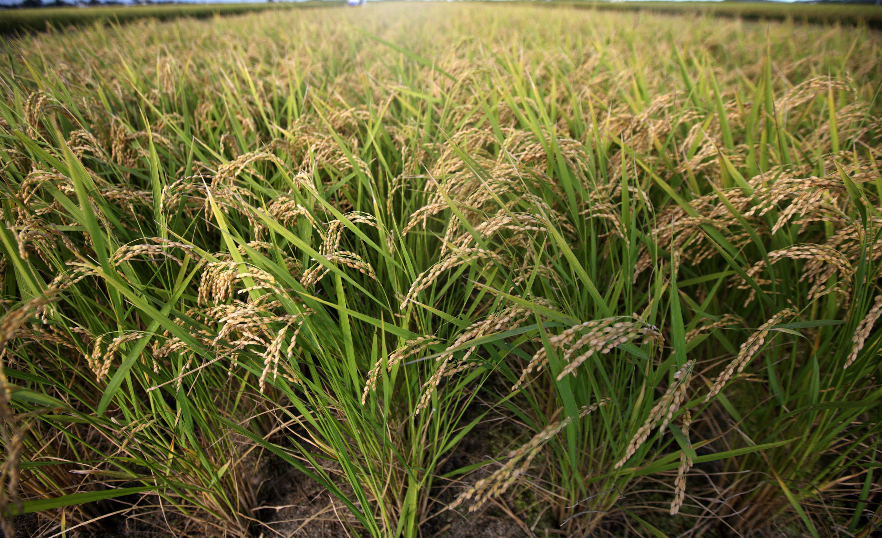 Kaduna Rice Farmers Want Early Loans Provision