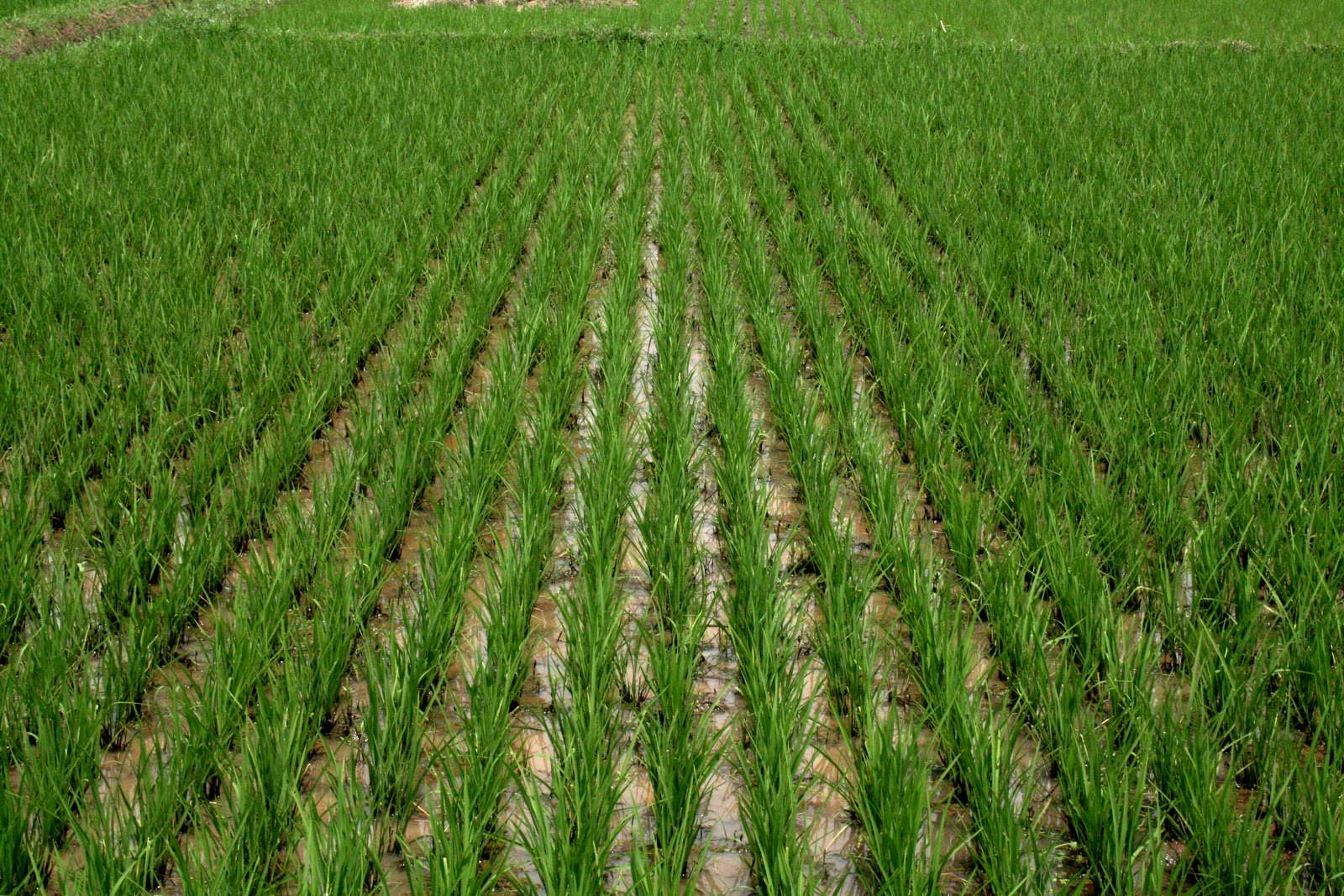 Rice Farmers Loss Millions As Rainstorm Washes 100 Hectares Of Rice Farm