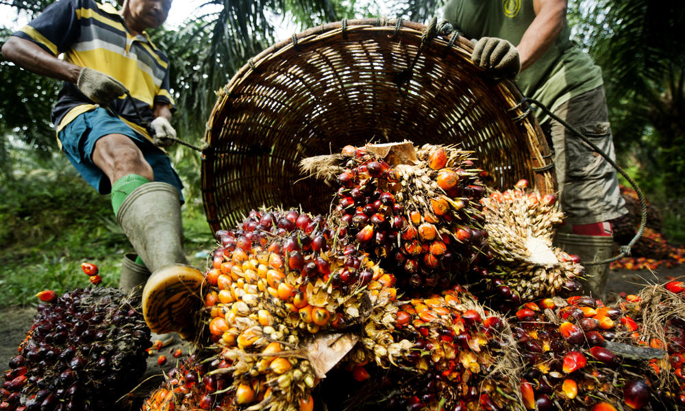 Palm Oil: Malaysia 2018 Output To Rise By 2.5%