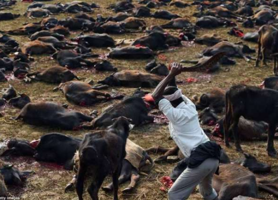 Scores Of Cattles Slaughtered In Alleged Revenge Move By Farmers