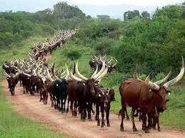 Lagos Elders Council Reject Cattle Colony Proposal