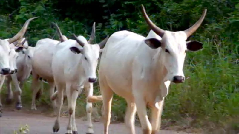 Osun Commences Enumeration Of Cattle Soon